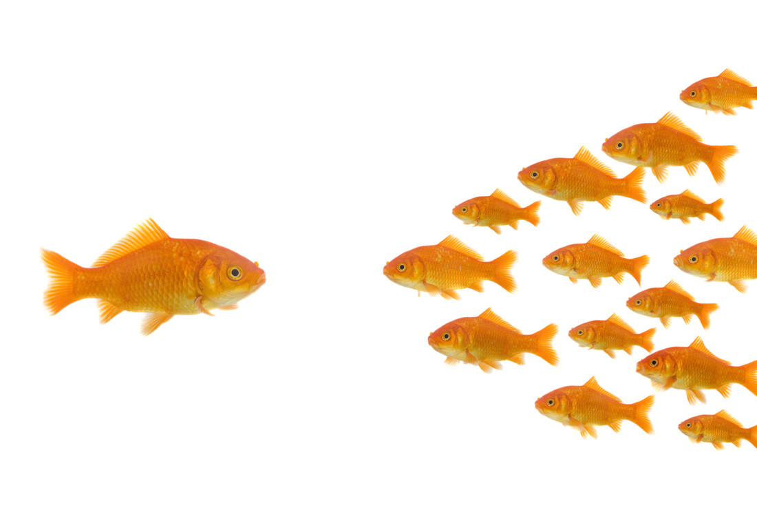 leadership : on goldfish in front of group, isolated on a white background